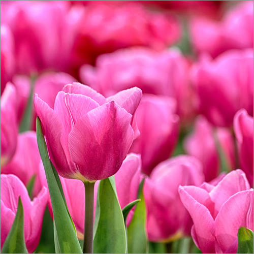 Wall sticker Tulips in pink