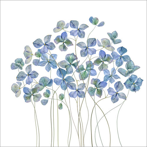 Wall sticker Blue Hydrangea