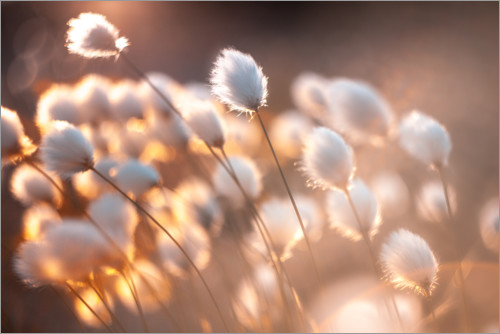 Premium poster Cottongrass in the evening light