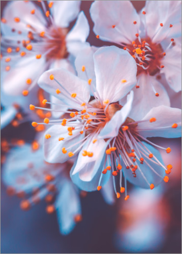 Premium poster Cherry blossoms in the violet evening light