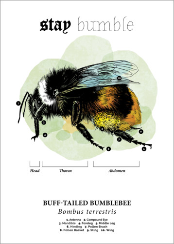Premium poster Anatomy of the buff-tailed Bumblebee