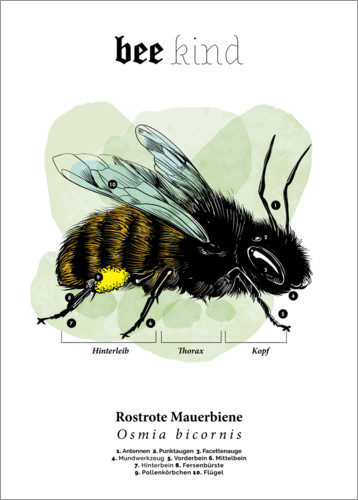 Premium poster Anatomy of a red mason bee