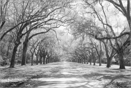 Premium poster Oak Avenue in Wormsloe, USA