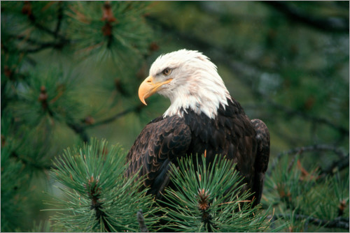Premium poster Bald eagle perched in a pine tree