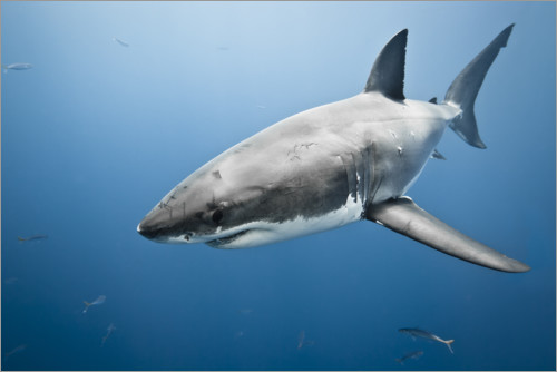 Premium poster Great White Shark II