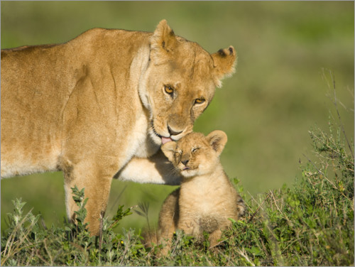 Premium poster Lion mother with cub