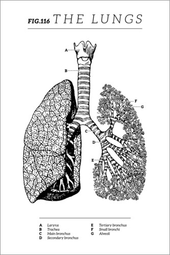 Premium poster Fig.116 Lungs (Vintage Chart)