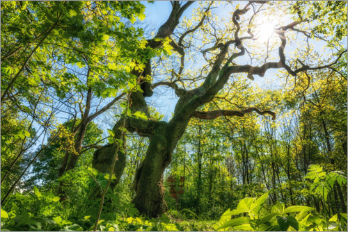 Premium poster Large oak tree in the Hainich National Park