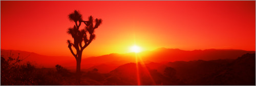 Premium poster Silhouette of a Joshua tree at dusk