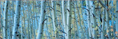 Premium poster Aspens in the forest