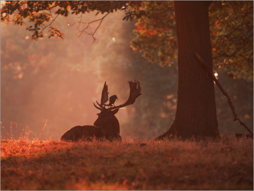 Premium poster A Fallow deer stag rests in an autumn forest.