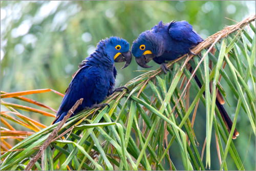 Premium poster Hyacinth macaws in conversation