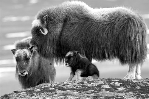 Premium poster Musk oxen with cub