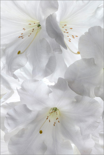 Premium poster White rhododendron flowers II