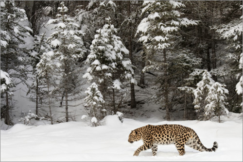 Premium poster Leopard is streaking through winter landscape