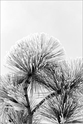 Premium poster Pine branch with frost crystals