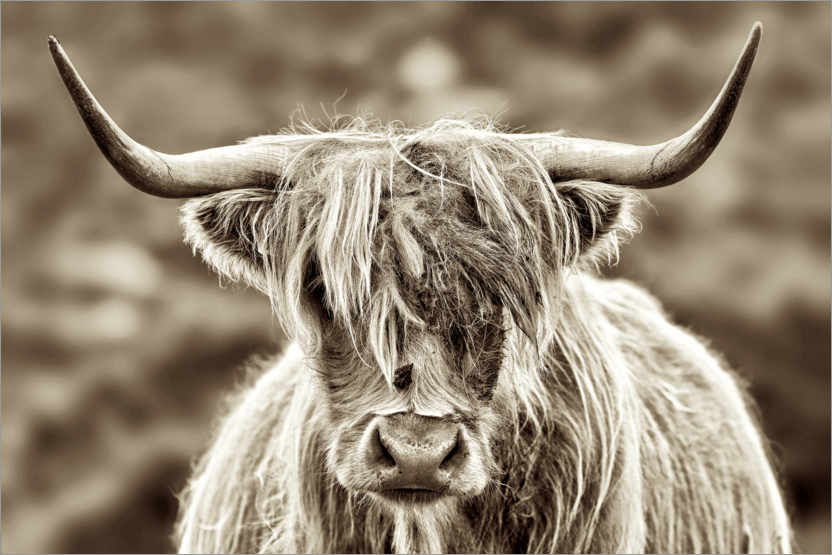 Premium poster Face to face with the highland cattle