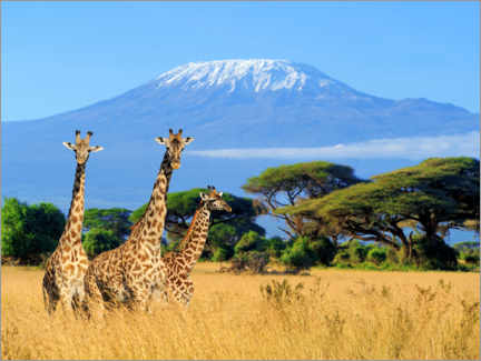 Wood print  Three giraffes, Kilimanjaro