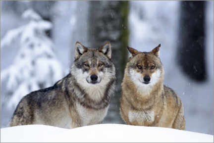 Premium poster Wolves in the snow