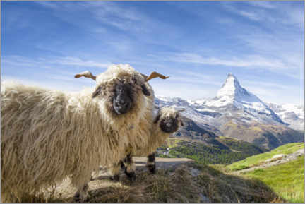 Premium poster  Matterhorn with black-nosed sheep - Jan Christopher Becke