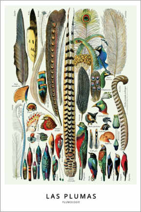 Acrylic print  Plumes (spanish) - Wunderkammer Collection