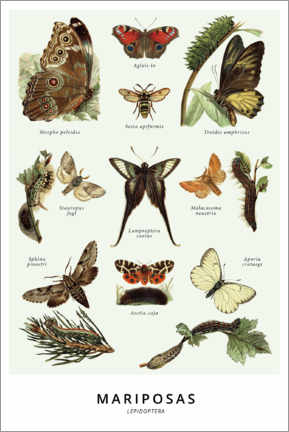 Acrylic print  Butterflies (Spanish) - Wunderkammer Collection