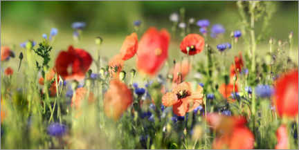 Gallery print  Poppy, grain and wildflower meadow - Lichtspielart