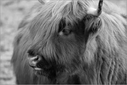 Aluminium print  Highlander - Scottish highland cattle - Martina Cross