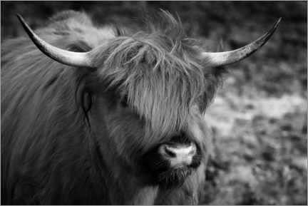 Gallery print  Highlander - Scottish highland cattle - Martina Cross