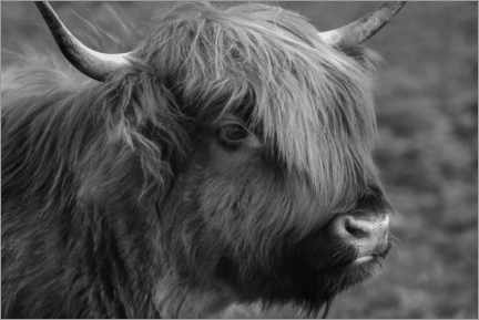 Foam board print  Highlander - Scottish highland cattle - Martina Cross