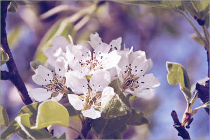 Canvas print  Apple blossom - INA FineArt