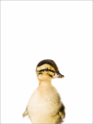 Premium poster  Baby duck - Sisi And Seb