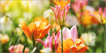 Gallery print  Pink and orange tulips - Lichtspielart