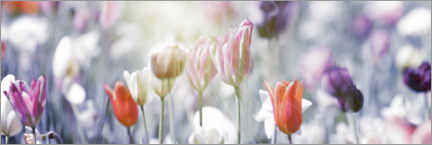 Acrylic print  Tulips in pastel colors - Lichtspielart