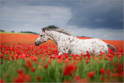 Premium poster White horse in the poppy field