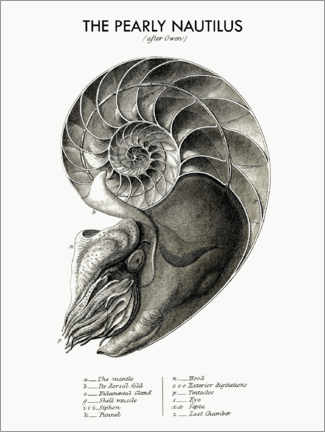 Premium poster  The Pearly Nautilus - Wunderkammer Collection