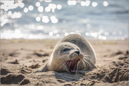 Premium poster  Young seal on the beach on Sylt - Christian Müringer