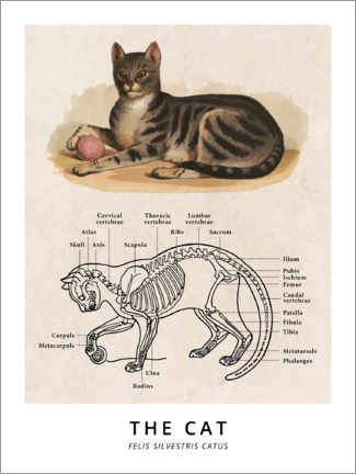 Premium poster  The Cat, Diagram (Vintage) - Wunderkammer Collection