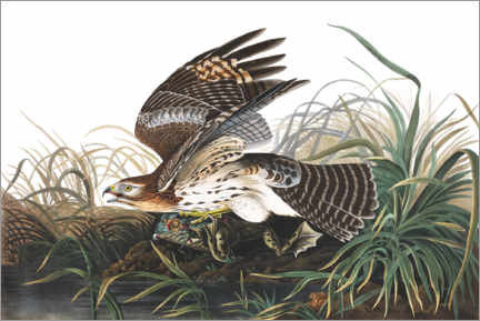Premium poster  Red-shouldered falcon and prey - John James Audubon