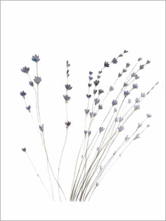 Canvas print  Lavender - Mantika Studio