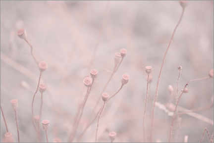 Gallery print  Pink Poppy - Andrea Haase Foto