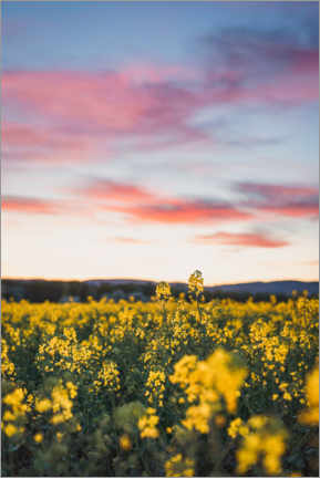 Premium poster Flowering rape field in the sunset