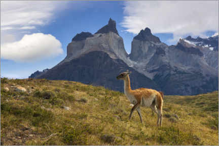 Premium poster  Guanacco in front of Cerro Torre in Chilean Patagonia - Dieter Meyrl