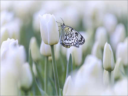 Canvas print  White tulips with butterfly - Martin Bergsma