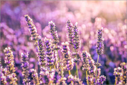 Acrylic print  Lavender in the evening light - Christian Müringer