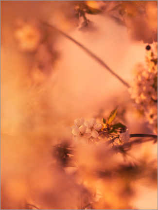 Premium poster Cherry blossoms in the morning light
