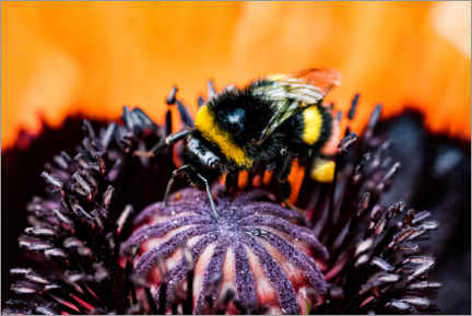 Aluminium print  Little bumble bee in a poppy flower - Jan Trstenjak