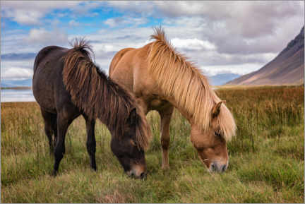 Wall sticker  Icelandic horses - André Wandrei