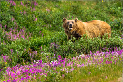 Premium poster Grizzly bear in the Rocky Mountains