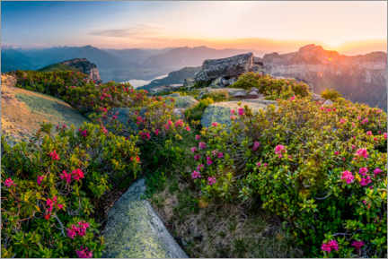 Acrylic print  Sunset in the Bernese Alps with Alpine Roses - Marcel Gross